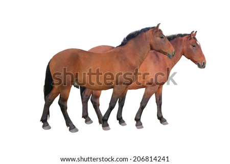 two brown horse isolated on white