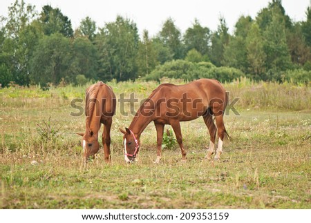 two brown horses grazing in a field on a background of forest