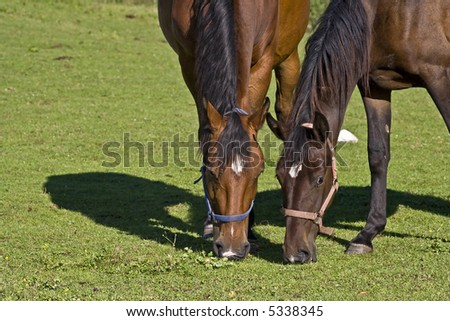 two brown horses grazing together, enough space for both, no quarreling - stock photo