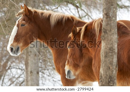 Two brown horses in a snowy winter enviroment. - stock photo