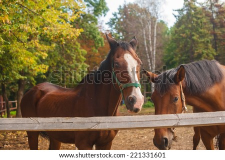 Two brown horses nuzzling each other across a rustic wooden fence separating their paddocks in evening sin light - stock photo