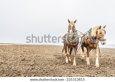 Two brown horses plow land. - stock photo