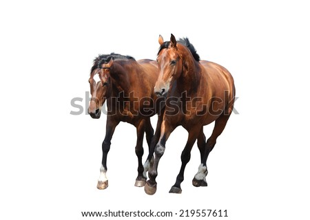 Two brown horses trotting fast isolated on white background