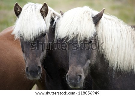 Two brown Icelandic horse with white manes - stock photo