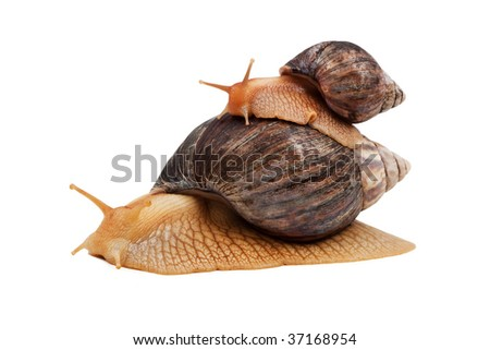 Two brown snail isolated on white background
