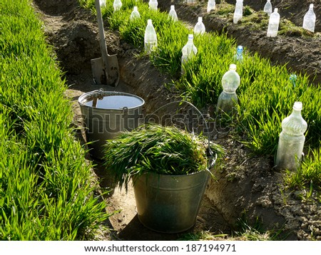 two buckets and spade in irrigation ditch between vegetable beds with growing wheat as green manure and some bottles as small hothouses for growing seedlings - stock photo