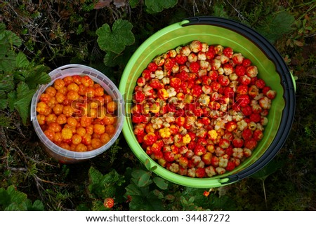 Two buckets full of cloudberries - stock photo