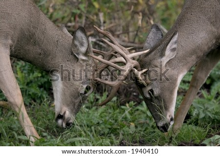two bucks fighting - stock photo