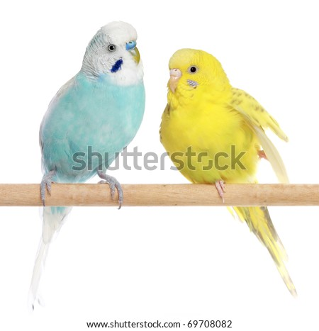 Two Budgie sit on a perch on a white background - stock photo
