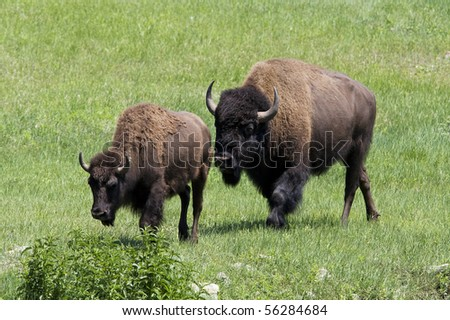 two buffalo, adult and adolescent - stock photo