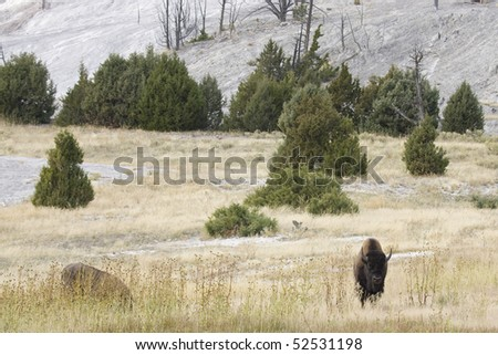 Two buffalo grazing Yellowstone National Park. One is looking toward the camera, and one is lying down, partially obscured by grass. Trees and geothermal hillside in the distance. Horizontal shot - stock photo