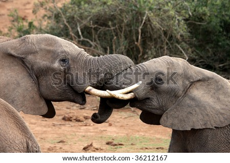 Two bull African elephants testing each others strength - stock photo