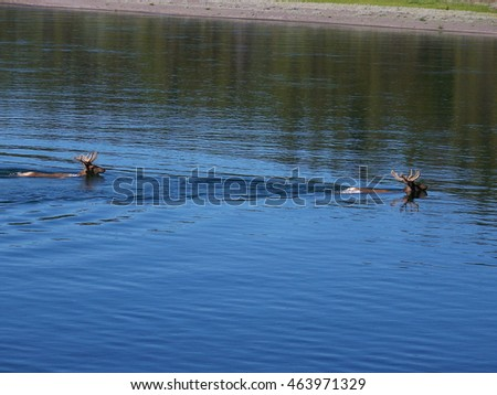Two Bull Elks Crossing Yellowstone River in Yellowstone National Park