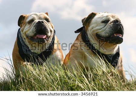 Two bulldogs, male and female, sitting in the high grass against a blue sky - stock photo