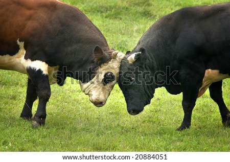 two bulls fighting