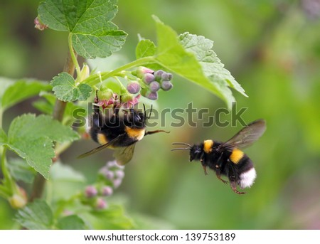 two bumblebee, the first one on a flower, the second in flight, spring 2012, near Moscow, Russia - stock photo