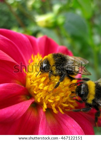 Two bumblebees - busy on a yellow pink flower