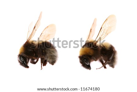Two bumblebees isolated on white - stock photo
