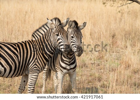 Two Burchell's zebras in a dry golden grass savanna, Pilanesberg National Park, South Africa - stock photo
