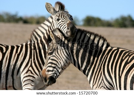 Two Burchell's Zebras interacting with each other on the African plains