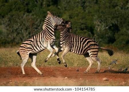 Two burchell zebra fight,kick and bite each other in a dominance battle.Taken while on safari in Addo elephant national park,eastern cape,south africa - stock photo