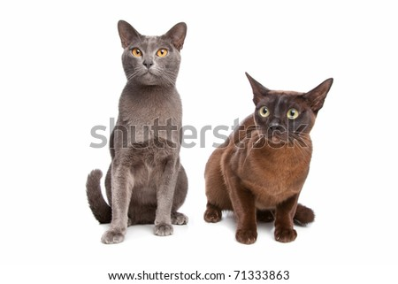 Two Burmese cats - stock photo