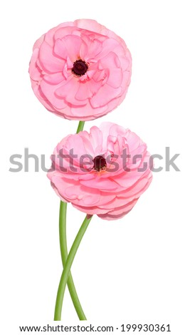 two buttercup pink flowers isolated on white. Ranunculus  - stock photo