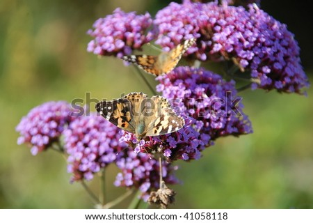 two butterflies on Verbena