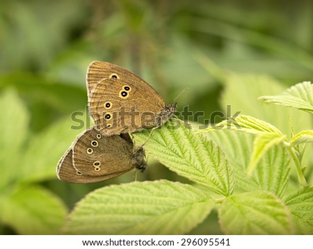 two butterflies sitting on a raspberry - stock photo