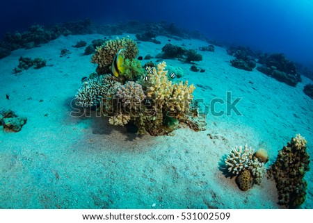 Two butterfly fishes on the coral reef
