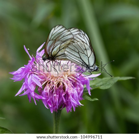 Two butterfly on a pink flowers - stock photo