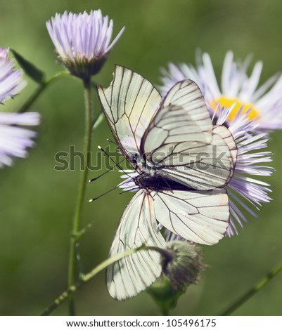 Two butterfly sitting on a flower of chamomile garden - stock photo