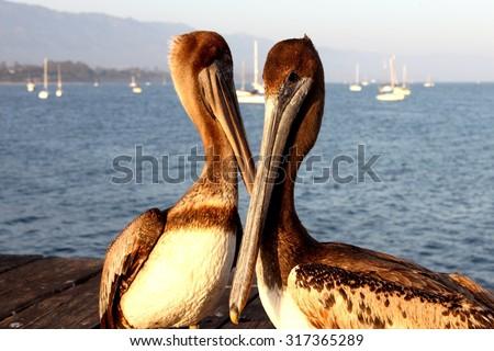 Two California pelicans on the Santa Barbara pier. - stock photo