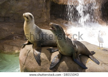 Two California Sea Lions on the rocks - stock photo
