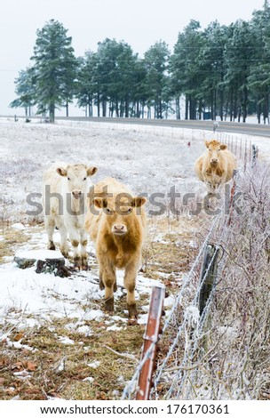 Two calves and pregnant cows on a snowy field. Arkansas, United States - stock photo