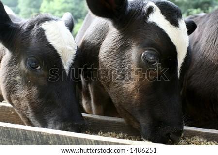 Two calves eating grain - stock photo