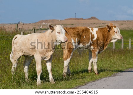 Two Calves Outdoors in Spring - stock photo