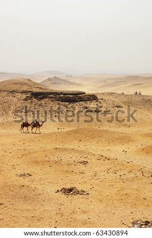 Two camels crossing the desert in Giza. - stock photo