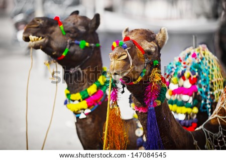 Two camels dressed up for the trade fair. Pushkar, India - stock photo