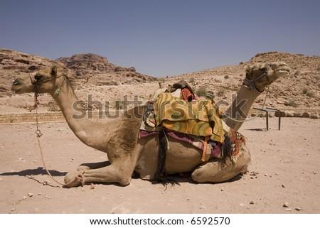 Two camels in desert near Petra Jordan - stock photo