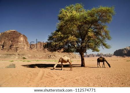 Two camels in desert of Wadi Rum, Jordan - stock photo