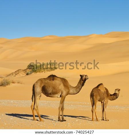 Two Camels in the Desert - Awbari Sand Sea, Sahara Desert, Libya - stock photo