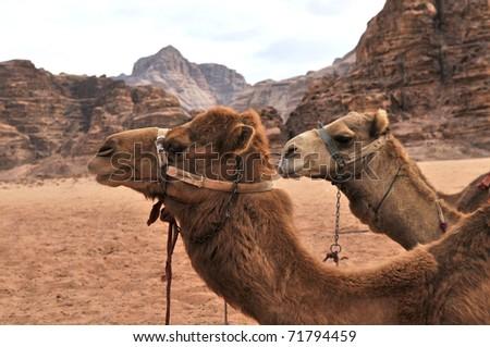 two camels in the desert, Wadi Ram Jordan - stock photo