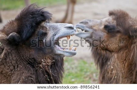 Two camels, one with its big yellow teeth shown
