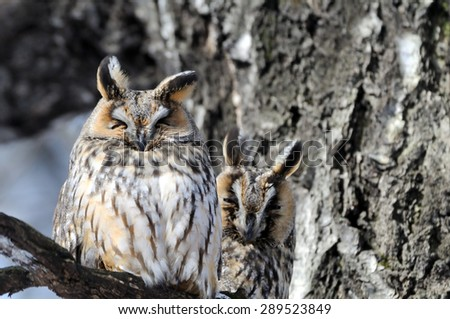 Two camouflaged Long-Eared Owls - stock photo