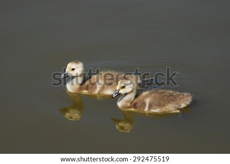 Two Canada Goose Goslings swimming together on lake with reflections - stock photo