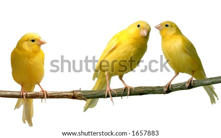 Two canaries communicating to each other while a third is listening