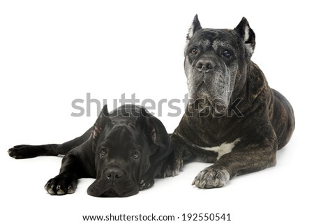 two cane corso in studio