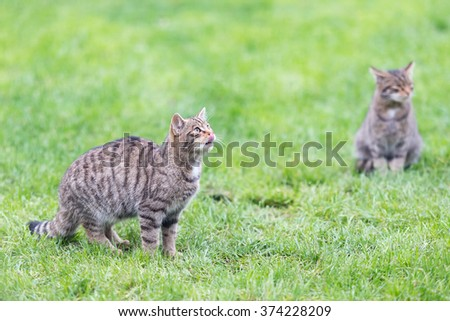 Two captive wildcat kittens {Felis silvestris} waiting to be fed - tongue out. UK, November.