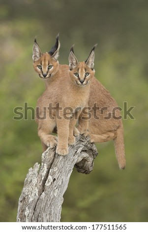 Two Caracals sitting together on tree stump - stock photo